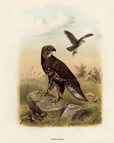 Fine Art Print of the Honey Buzzard by O V Riesenthal (1876)